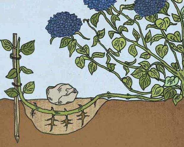 Гортензия метельчатая ваниль фрайз посадка и уход в открытом грунте